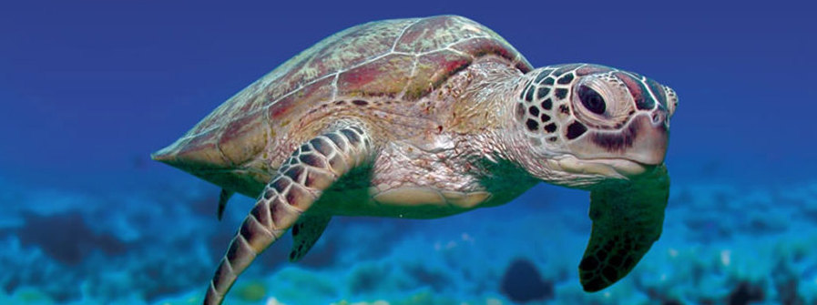 friendly-sea-turtle