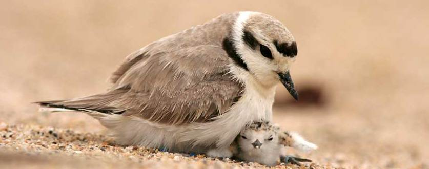 pacifica-snowy-plover
