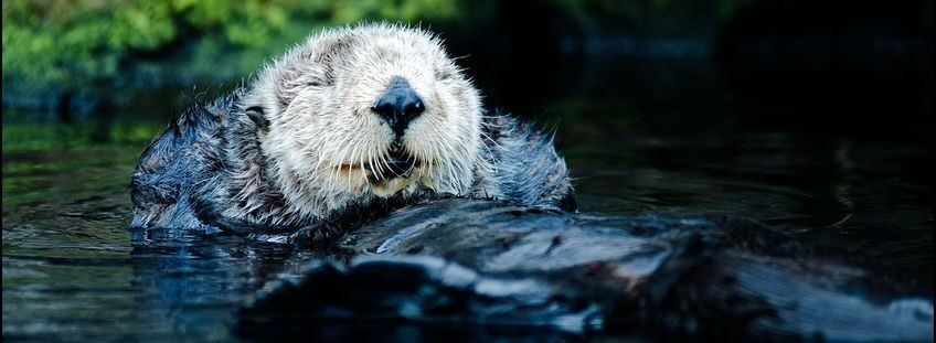 smiling sea otter