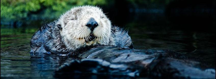smiling sea otter