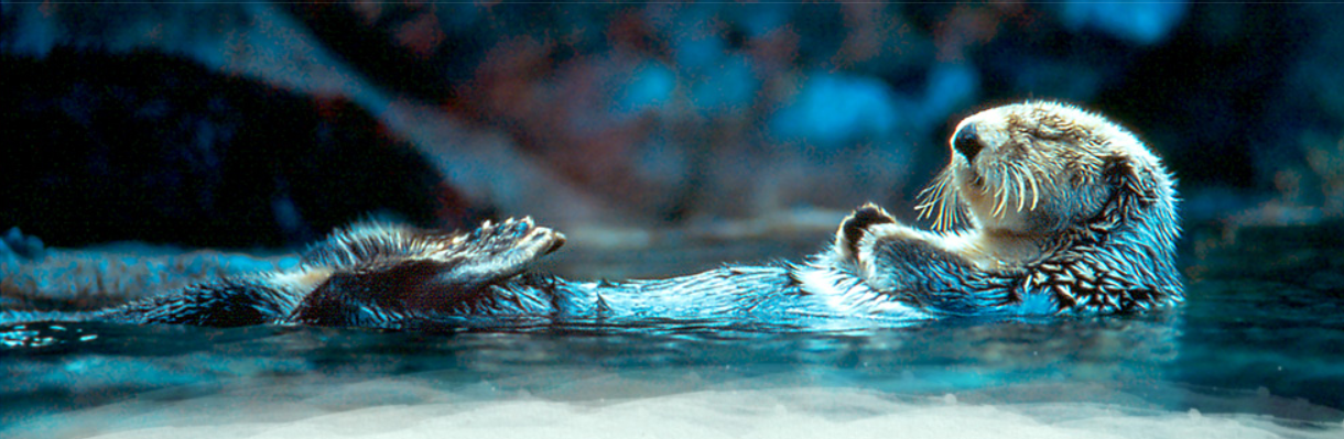 sea_otter_sleeping